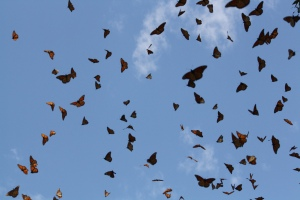 Vamos a Leer | WWW: Migrating Ancestors and the Flight of the Monarch